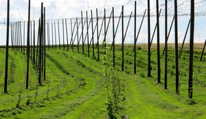 Perennial cover crops in plantations - hop