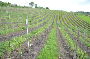 Perennial cover crops in plantations - vineayard 1